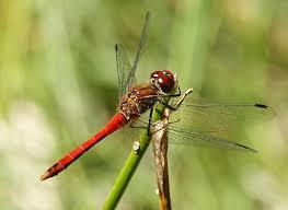 Die rote Libelle